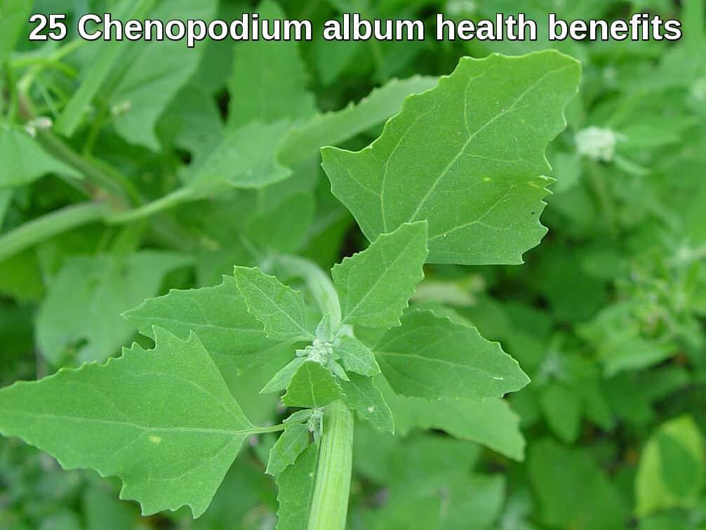 chenopodium album