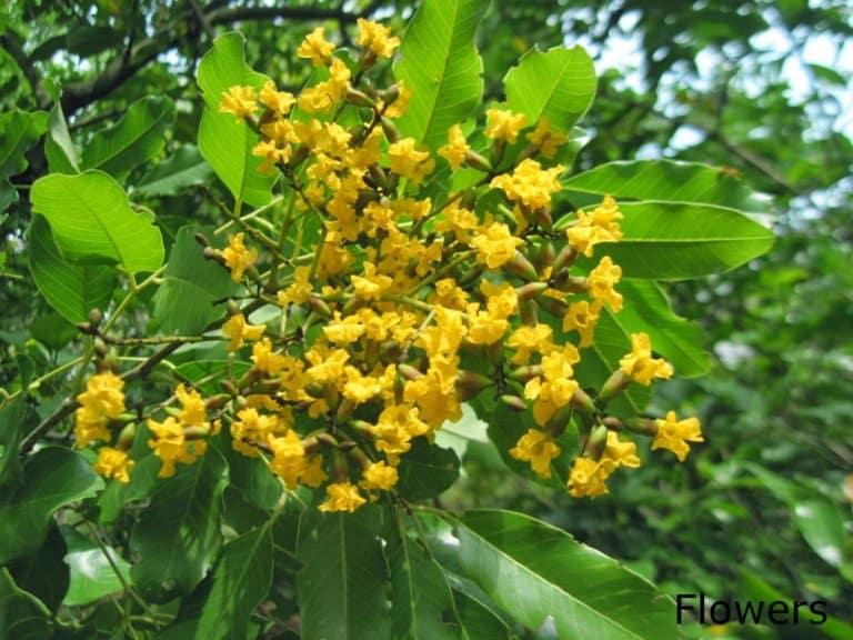 16 Benefits of Vijaysar tree/Pterocarpus Marsupium you should know