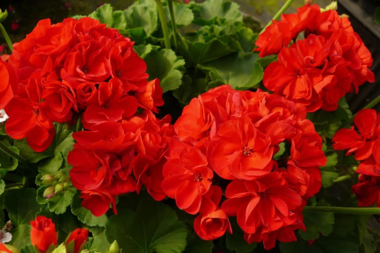 15 Geranium essential oil benefits for skin, hair, and health