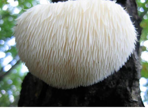 health benefits of lions mane mushroom