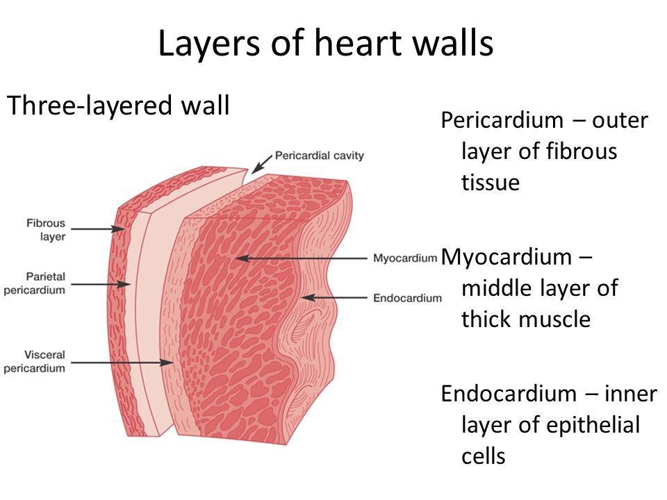 Human heart structure and blood circulation includes heart diagram layers of heart ccuart Images