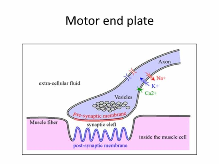 Motor end plate-Definition, Structure, Function & Diseases