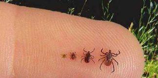 seed ticks bites