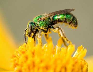 sweat bee sting